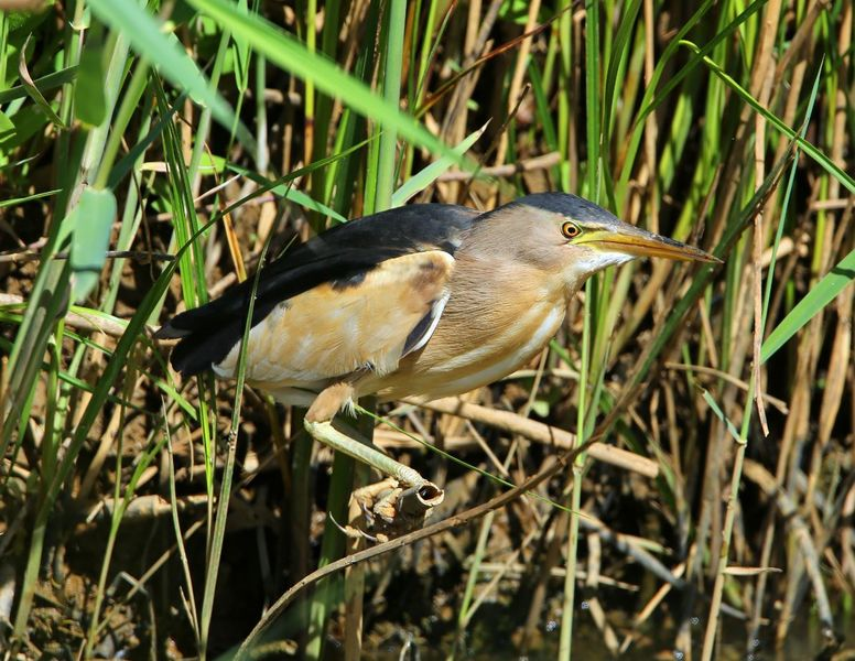 Sorties nature aux étangs de Sauvebonne à Hyères - 2