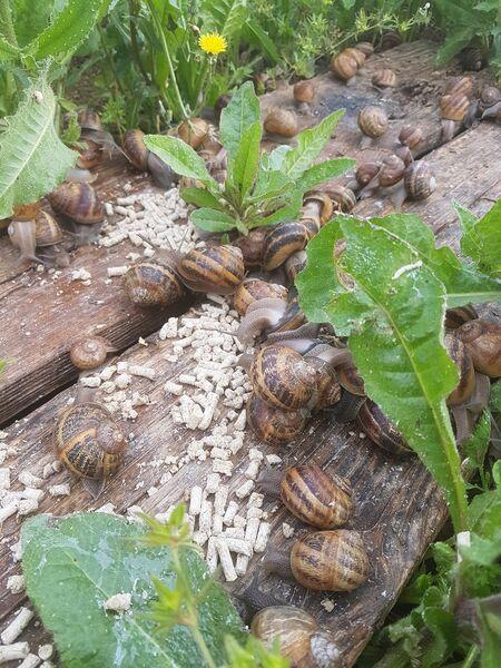 Visite, en soirée d'une exploitation d'escargots à Le Pradet - 3